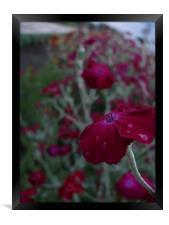 Purple flower with dew, Framed Print