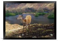 Red Deer Glen Etive, Framed Print