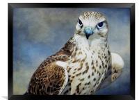 Saker Falcon, Framed Print