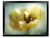 Yellow Tulip, Framed Print