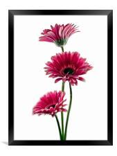 Simply Pink, Framed Print