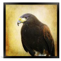A Harris Hawk, Framed Print