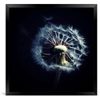 Dandelion Blowing In The Wind, Framed Print