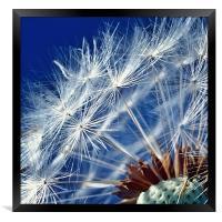Dandelion Seeds, Framed Print