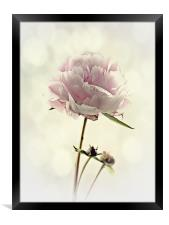Perfect Peony, Framed Print