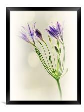 Californian Bluebell, Framed Print