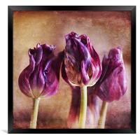 Fading Tulips, Framed Print