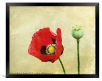 Poppy against the wall, Framed Print