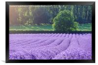 Rows of Lavender, Framed Print