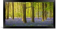 Woodland Bluebells, Framed Print