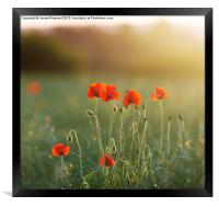 Poppy Evening, Framed Print
