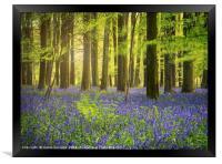 The Bluebell Woods , Framed Print