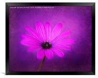 Purple Beauty, Framed Print