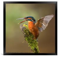 Kingfisher, Framed Print