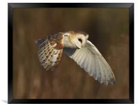 barn owl, Framed Print