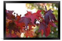 Red Maple Leaves, Framed Print