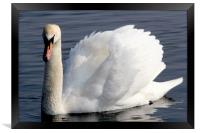 Swan displaying at Wellington Country Park, Framed Print