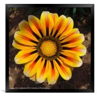 Golden Gazania Flower, Framed Print