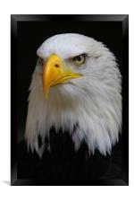 American Bald Eagle, Framed Print