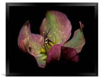 Helleborus, Framed Print