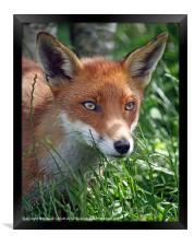 Red fox stare, Framed Print