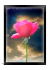 Pink Rose, Framed Print