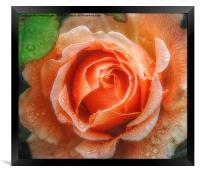 Raindrops on Roses, Framed Print
