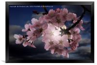 Blossom In Moonlight, Framed Print