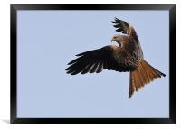 Red Kite in flight, Framed Print