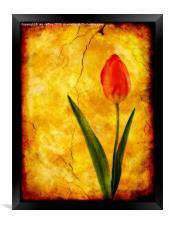 Single Red Tulip, Framed Print