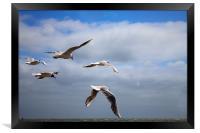 Terns in flight, Framed Print