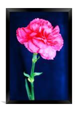 Pink Carnation, Framed Print