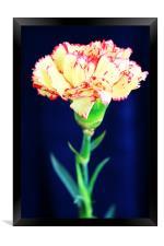 Carnation, Framed Print