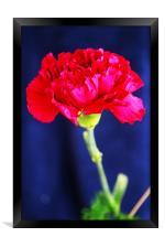 Red Carnation, Framed Print