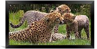Cheetah, Framed Print