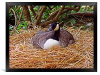 Nesting, Framed Print