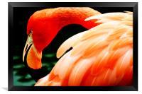 Flamingo, Framed Print
