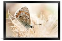 Common blue butterfly, Framed Print