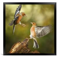 Squabbling chaffinches, Framed Print