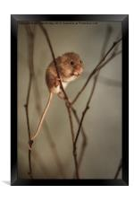 Harvest mouse, Framed Print
