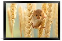 Harvest mouse in wheat stalks, Framed Print