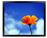 Poppy California Dreaming, Framed Print