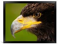 Intense gaze of Golden Eagle, Framed Print