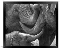 Elephants Tender Touch, Framed Print