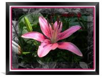 Lily , Framed Print