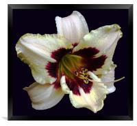 Distinct 2 Colour Lily, Framed Print