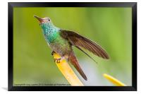 Hummingbird sitting with wing extended, Framed Print