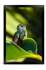 Hummingbird basking in dawn Sun, Framed Print