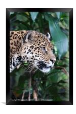 Jaguar big cat, Framed Print