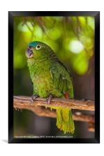 Blue naped parrot, Framed Print